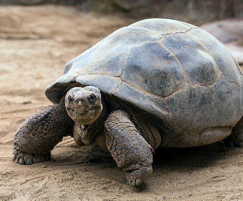 gambar kura-kura cerewet