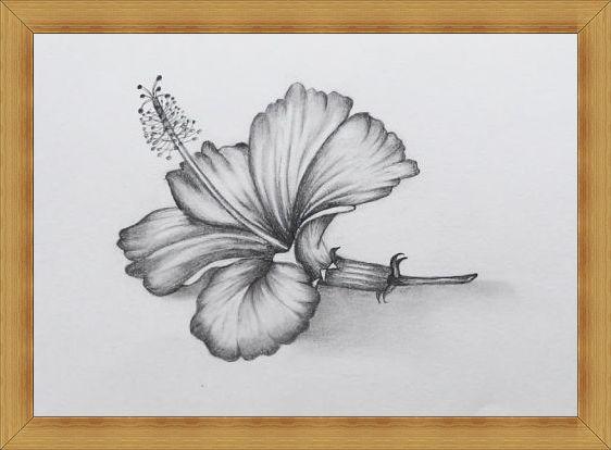 Gambar Sketsa Bunga Hibiscus Kembang Sepatu