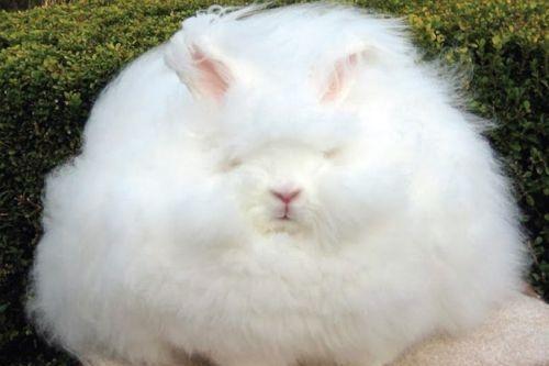 Gambar kelinci anggora lucu