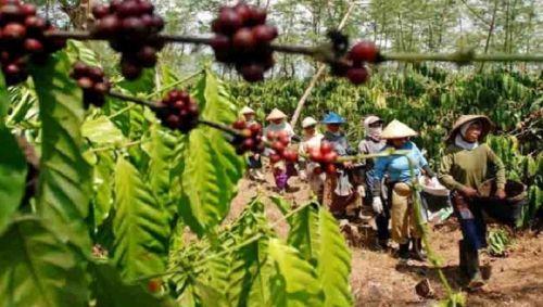 Perkebunan Kopi Sulawesi Selatan