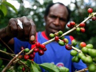 Perkebunan-Kopi-Wamena