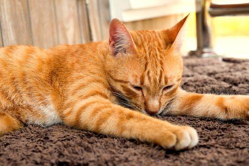 Karpet Kucing