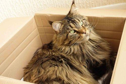 9 Fakta Menarik Tentang Kucing Besar Maine Coon Sosmedmu