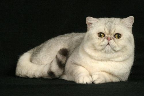 Kucing Exotic Shorthair
